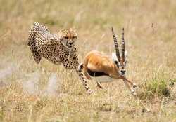 A beautiful shot of a cheetah chasing an African young stag