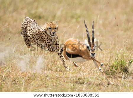 A beautiful shot of a cheetah chasing an African young stag Сток-фото ©