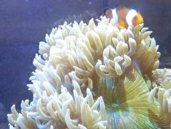 A beautiful shot of a clownfish swimming around the sea anemones
