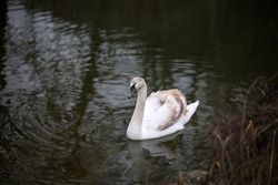 A beautiful shot of a lonely white swan floating on the river