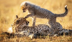 A beautiful shot of a mother and a baby cheetah playing in the sun