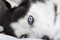 A beautiful Siberian Husky dog is showing his colorful blue eyes while is lying down and resting above a white bed