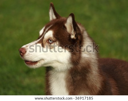 Siberian Husky With Blue And Brown Eyes A beautiful siberian husky