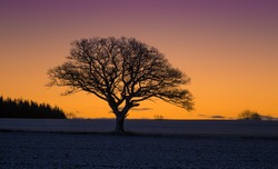 A beautiful single oak tree in the winter morning before the sunrise. Early winter scenery during dawn. Oak tree silhouette against the colorful sunrise sky.