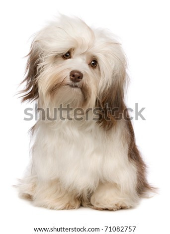 A beautiful sitting chocolate havanese puppy dog isolated on white background