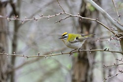 A beautiful small female Common firecrest (Regulus ignicapilla) which is the smallest Italian bird weighing 5 - 7 grams, photographed in the woods of the Ligurian Apennines.