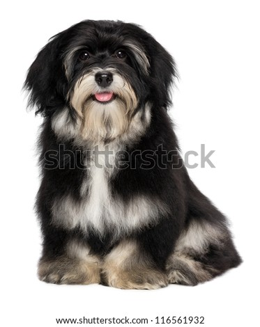 A beautiful smiling happy havanese male puppy dog is looking at camera, isolated on white background
