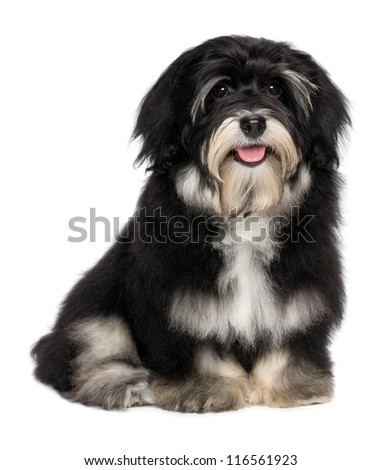 A beautiful smiling happy havanese male puppy dog, isolated on white background
