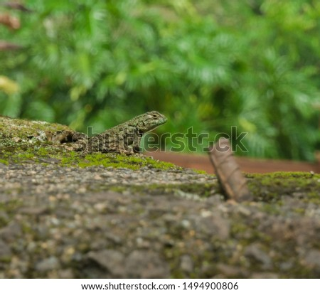 A beautiful spiny lizard watching me, was found being courting by a big male in the central valley of costa rica Photo stock ©