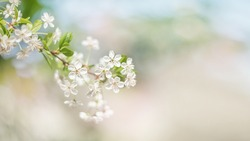 A beautiful spring cherry tree in the garden blooms on a blurry peaceful blue background. Blurred background.