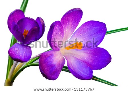 A Beautiful Spring Crocus with small rain droplets Isolated on a White Background