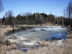 A beautiful Spring landscape at a local pond, where the water is part frozen, surrounded by trees and water reeds.  This scene is taken on a sunny day with blue skies in the background.