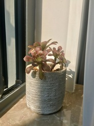 A beautiful succulent plant in a pottery vase is place beside the window.