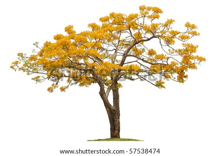 "A Beautiful Summer Tree In Thailand ""Hang-Nok-Yung"",Flamebuoyant Tree, Flam of the forest, Peacock flower"