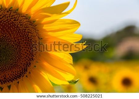 A beautiful sunflower field near Valensole, Provence, France #508225021