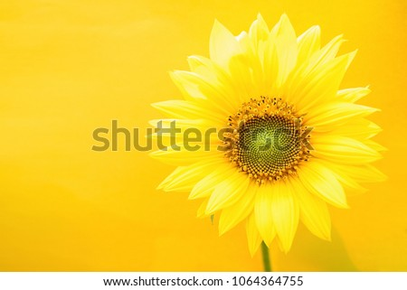 A beautiful sunflower on a yellow background #1064364755