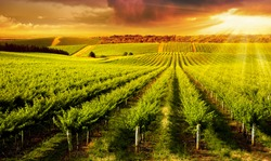 A Beautiful Sunset over vineyard in South Australia