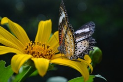 A beautiful swallowtail butterfly sitting sideways on a yellow flower