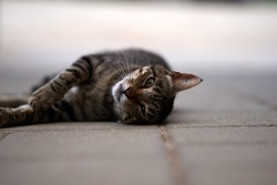 A beautiful tabby cat is lying on a road and posing. selective focus. High quality photo