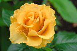 A beautiful tea-hybrid rose.