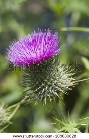 A Beautiful Thistle flower in full bloom