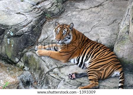 A beautiful tiger resting on rocks.