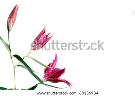 A Beautiful Trio of Pink Lilies in Different Stages of Bloom, Isolated on a White Background, with Room for Text