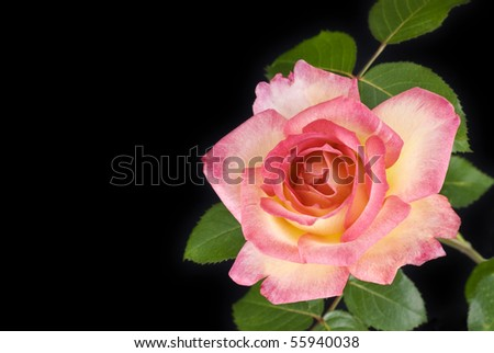 A beautiful two tone pink rose on a black background, horizontal with copy space