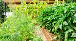 A beautiful vegetable garden with raised wooden beds where bell peppers, carrots, dill and corn are grown outdoors. A canopy made of wooden slats in landscape design. Mowed grass mulch on the beds.