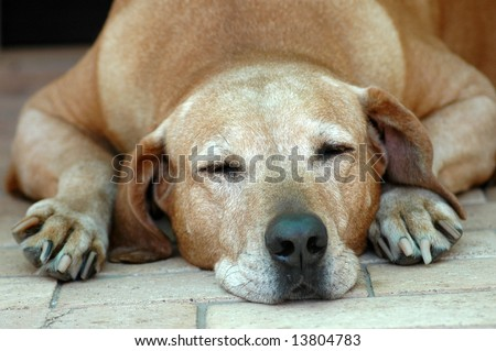 A beautiful very old Rhodesian Ridgeback hound dog head portrait with relaxed expression in the grey face sleeping on the tiles in the backyard outdoors