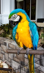 A beautiful vibrantly blue-yellow colour Macaw parrot posing on a wood stick. Ara macaw parrot.