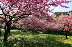 A beautiful view of pink cherry blossom trees (Sakura) blooming on the green grassy meadow on a sunny spring day in a garden in Tamsui District, New Taipei City, Taiwan