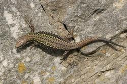 A beautiful Wall Lizard, Podarcis muralis, sunning itself on a stone wall.