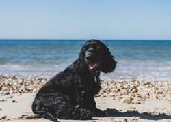 A beautiful 10 week old black cocker spaniel enjoys a sunny day at the beach in early summer in the UK. He wears a smart green collar