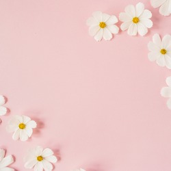 A beautiful white chamomile, daisy flowers on pale pink background.  Holiday, wedding, birthday, anniversary concept.  Flat lay, top view copy space. Minimal concept.