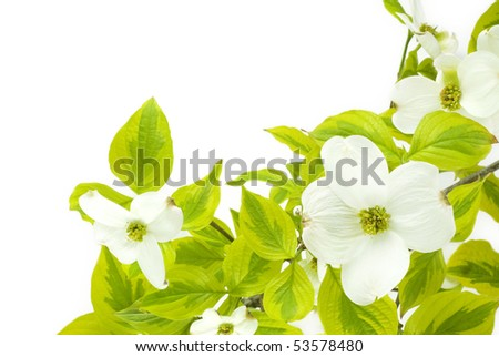 A beautiful white dogwood branch on a white background
