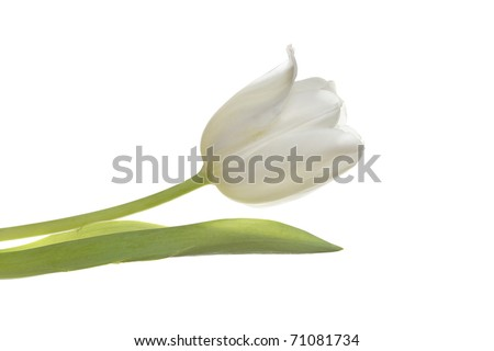 a beautiful white easter spring tulip isolated on white