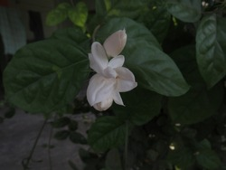A beautiful white flower and green leaves