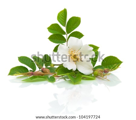 a beautiful white flower wild rose on a white background with a reflection of the close-up