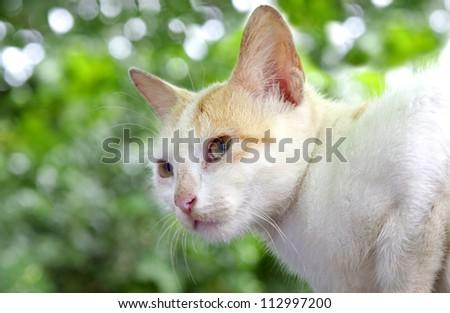 A beautiful white furry cat