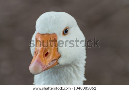 A beautiful white Goose captured closeup and in profile, with a bright orange beak, blue eyes and a bokeh background. - Shutterstock ID 1048085062
