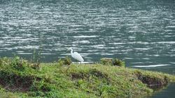 a beautiful white heron beak bird on the shore of Thekkady lake Idukki. Periyar Wildlife sanctuary India. Tourist places in Kerala.