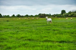 A beautiful white horse feeding in a green pasture