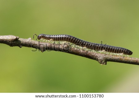A beautiful White-legged Snake Millipede (Tachypodoiulus niger) walking along a twig. #1100153780