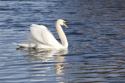 a beautiful white mute swan on blue rippled water