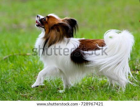 Photo of A beautiful white papillon with a red head and a back. A small dog stands with a raised paw in the green grass. A cute puppy is walking outside on the lawn. Horizontal image.