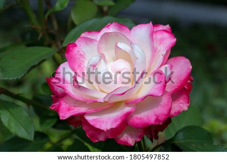 A beautiful white-pink hybrid tea rose  Nostalgie blooms in the Crimea in the Aivazovskoye botanical garden. Russia. Fall. Macro. Photo stock ©