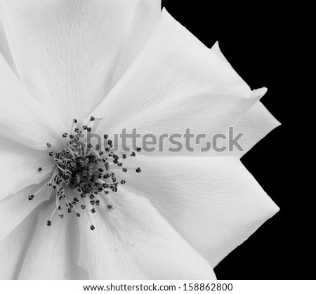 A Beautiful White rose shown in black and white, isolated on a black background