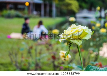 A beautiful white rose with a romantic and lovely couple sitting on the grass. A nice afternoon at Nong Buak Haad park in Chiang Mai, Thailand