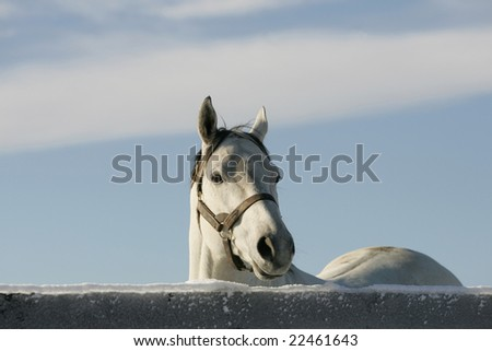 A beautiful white thoroughbred race horse on the farm after a winter snow storm with a bright blue sky background
